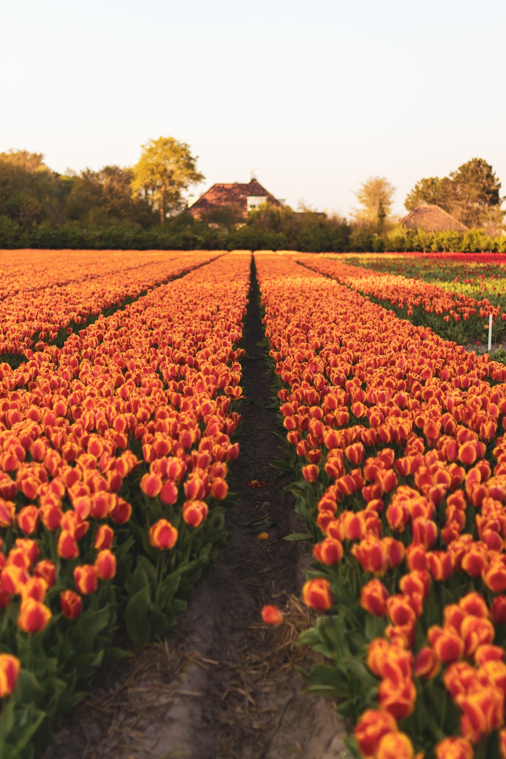 red and yellow tulips field during daytime