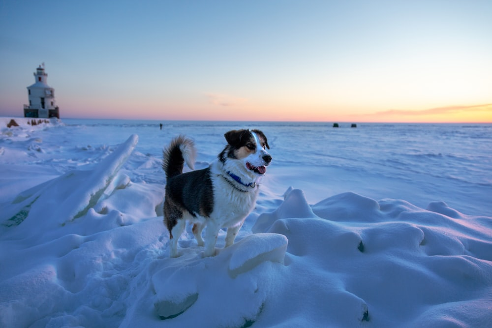 black and white border collie running on snow covered field during daytime
