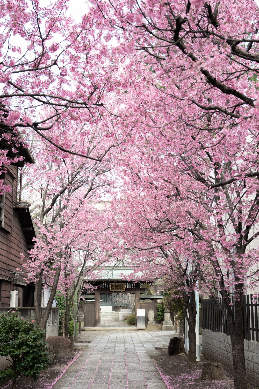 pink cherry blossom tree near white building during daytime