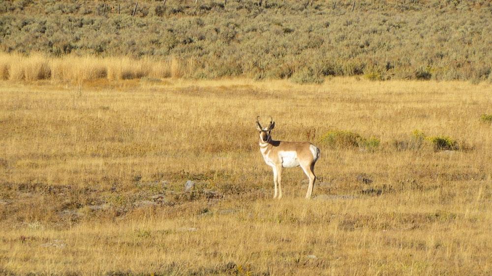brown deer on brown grass field during daytime