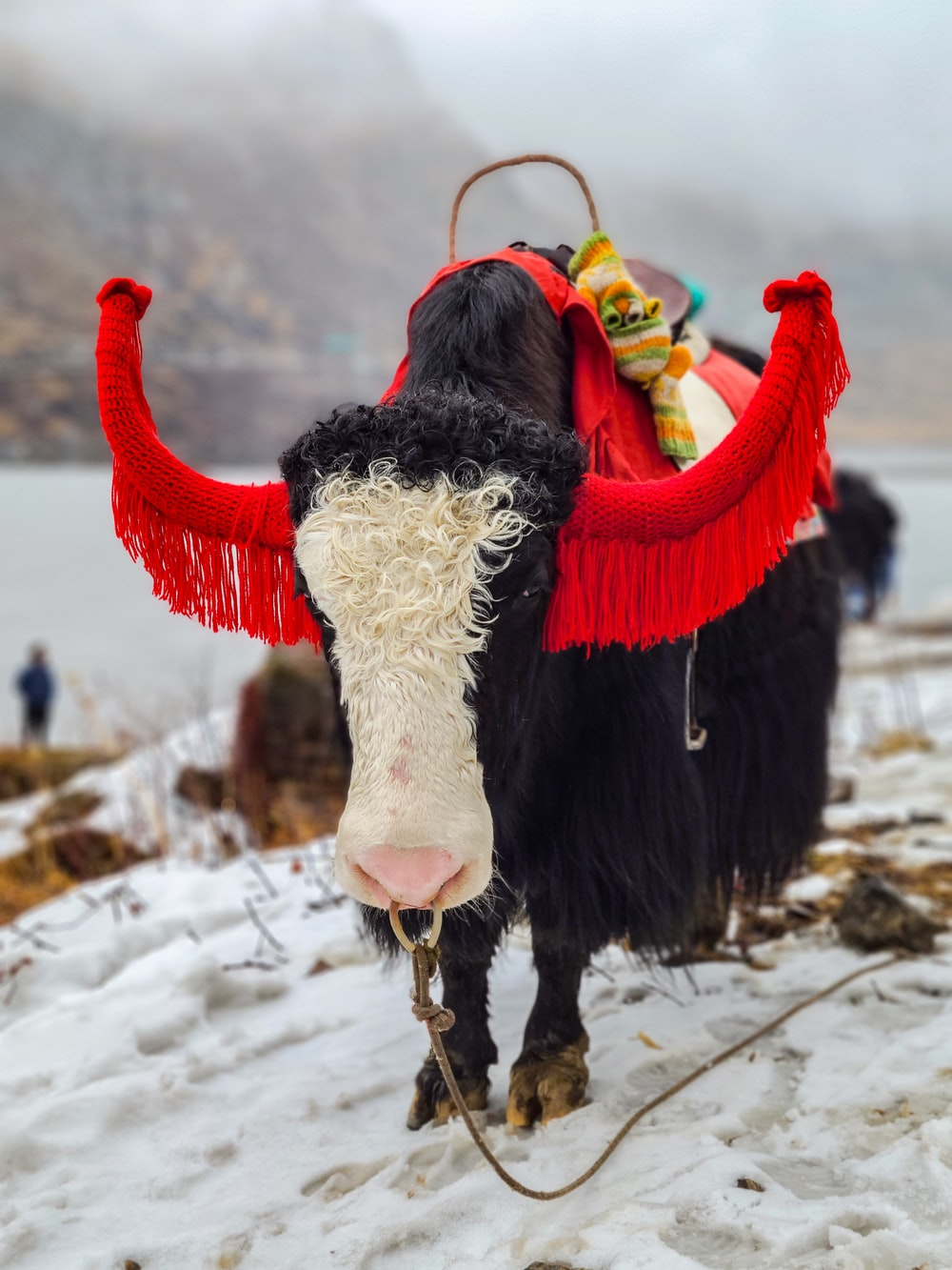 white and black cow on snow covered ground during daytime