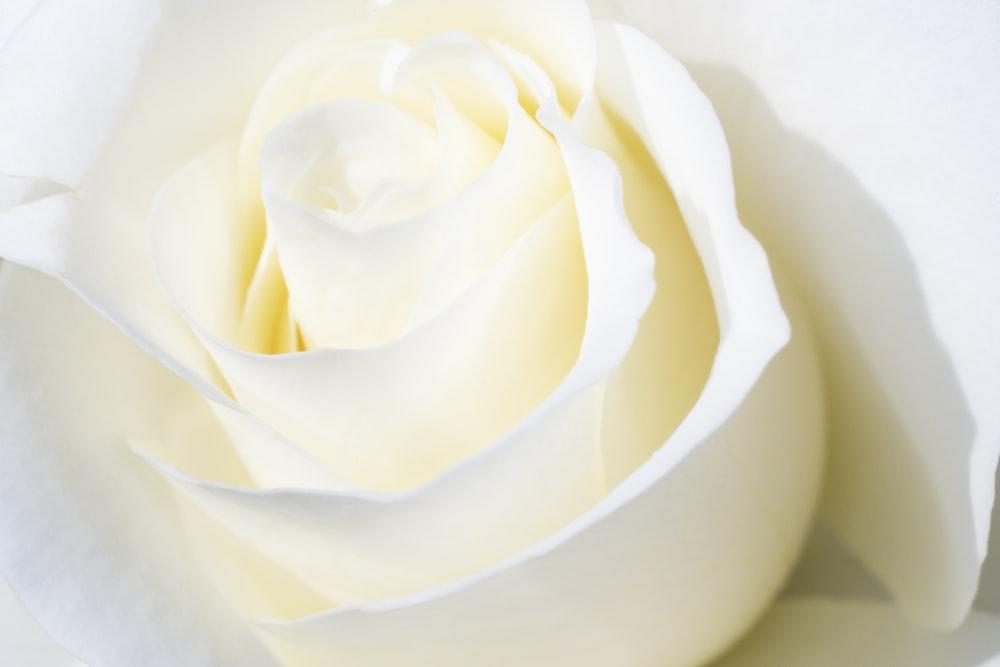 white rose in white ceramic bowl