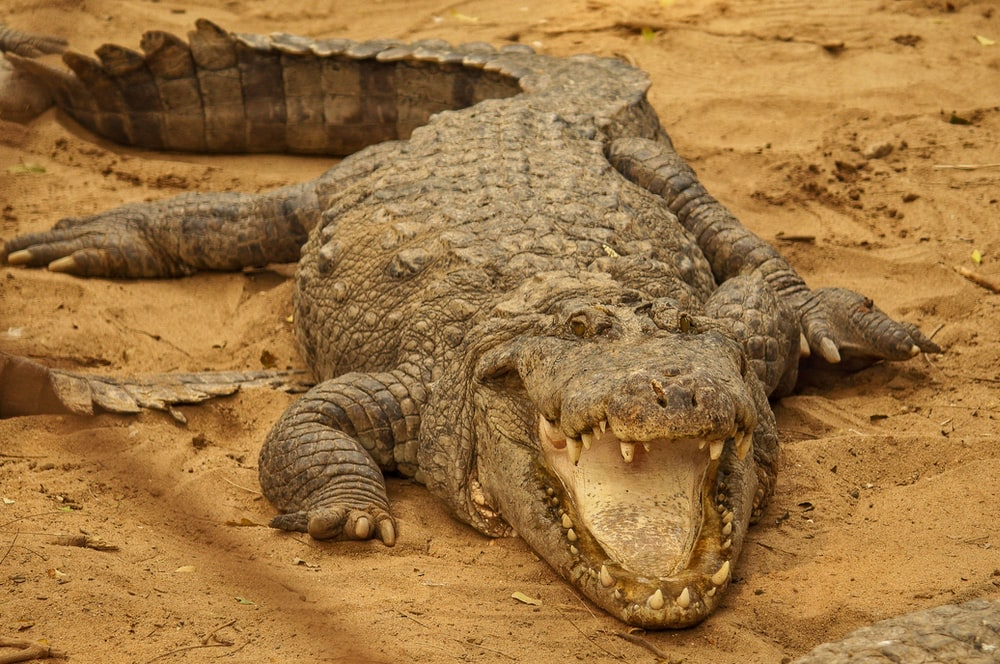 500 Crocodile Pictures Download Free Images On Unsplash