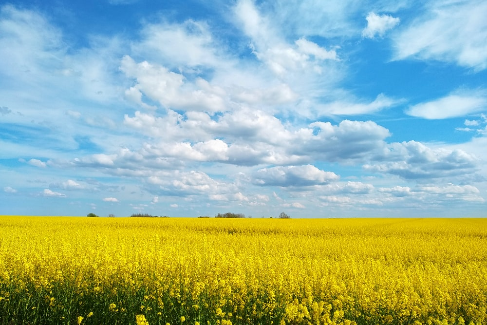yellow flower field under blue and white sunny cloudy sky