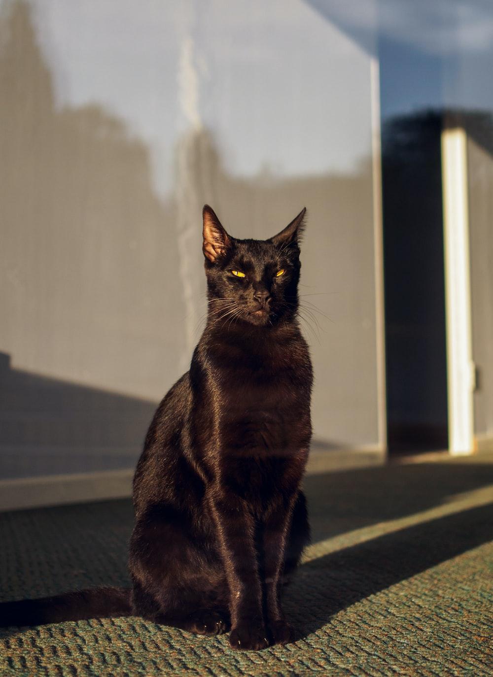 black cat on black and white carpet