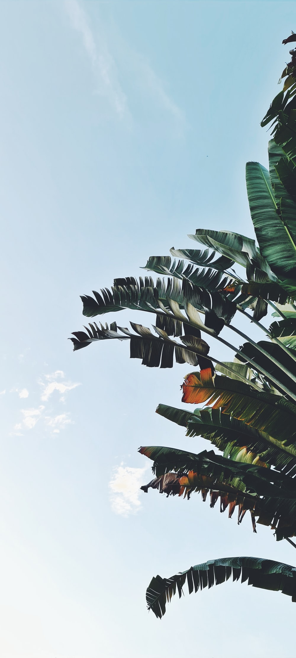 green banana tree under white clouds during daytime