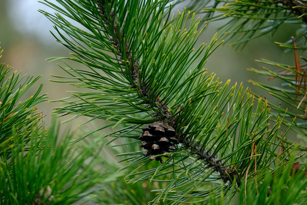 green pine cone in close up photography