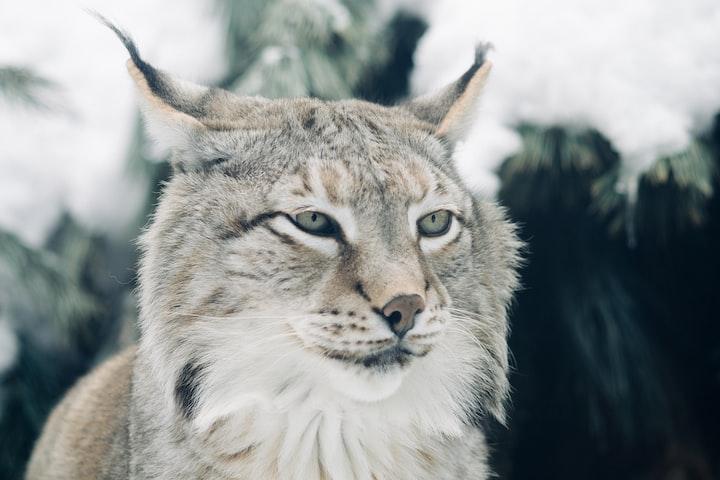 First lynx rewilding in the UK
