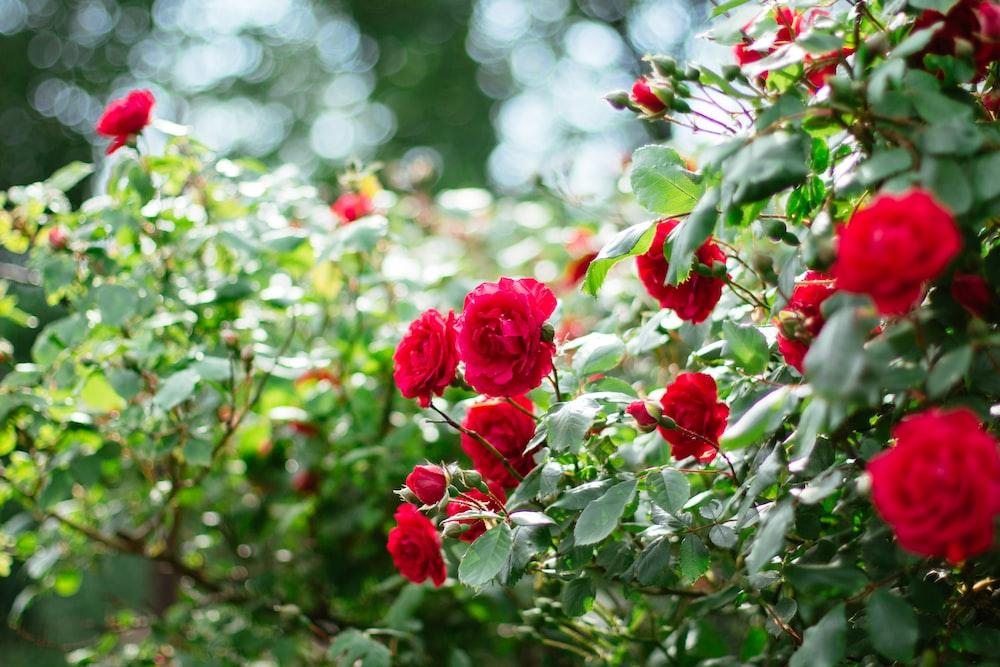 red roses in tilt shift lens