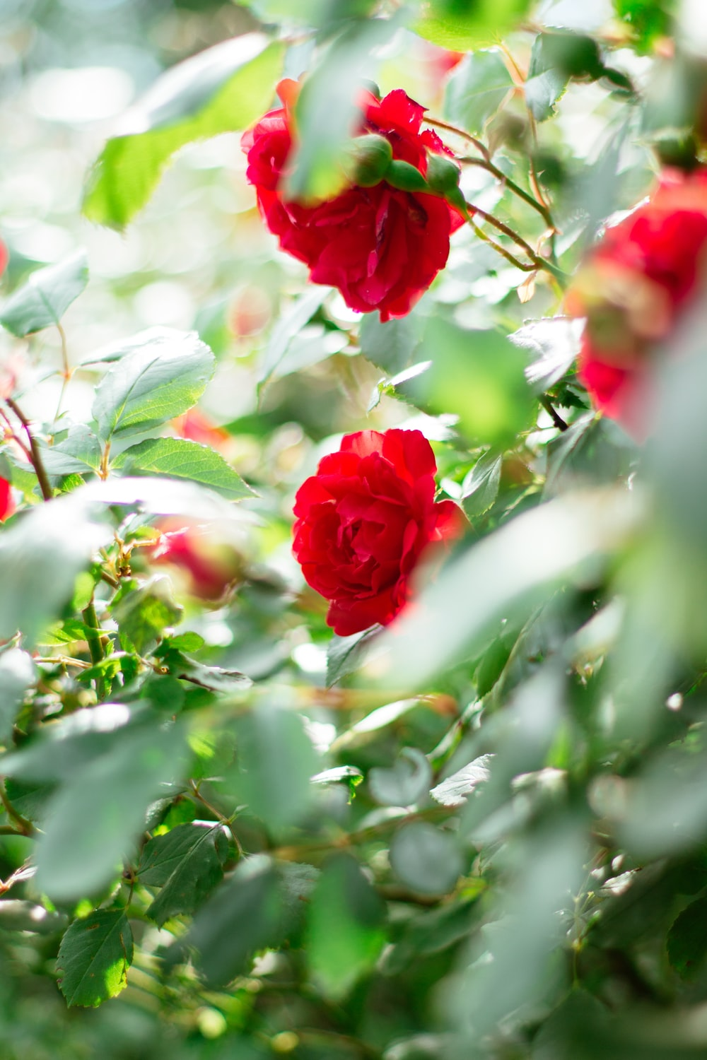 red roses in bloom during daytime