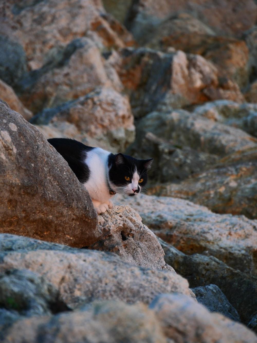 tuxedo cat on brown rock