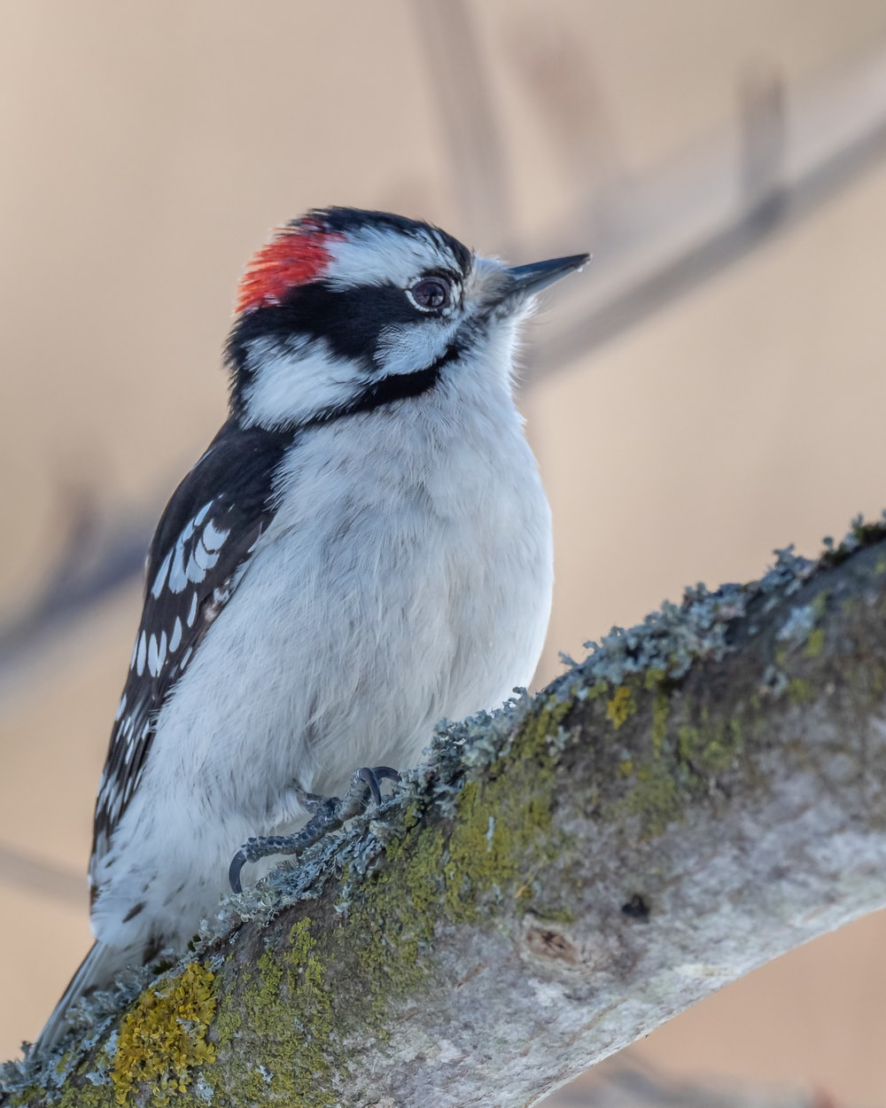 white black and red bird on brown tree branch