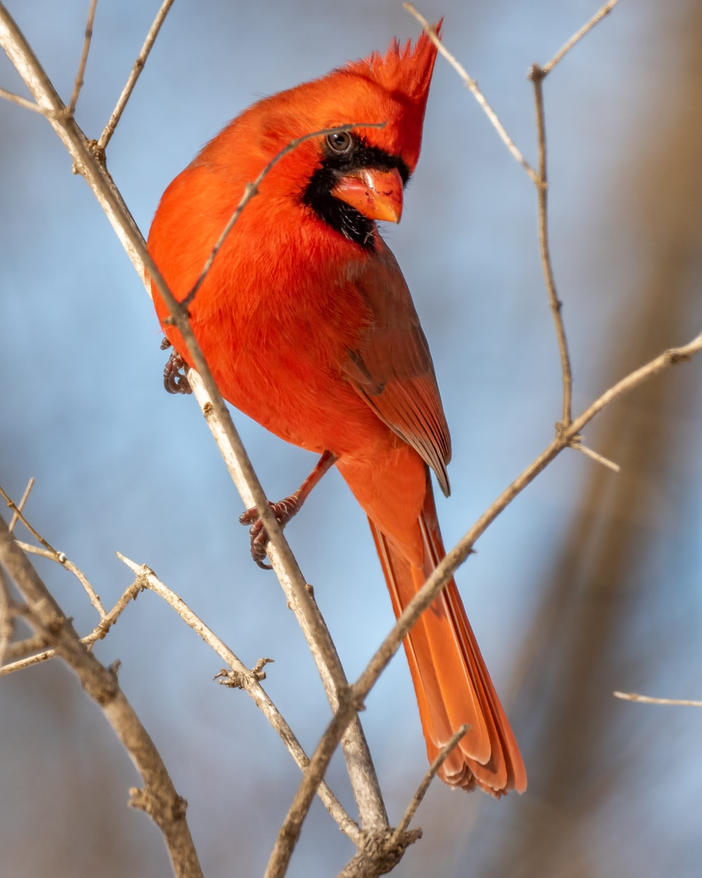 red cardinal perched on brown tree branch during daytime