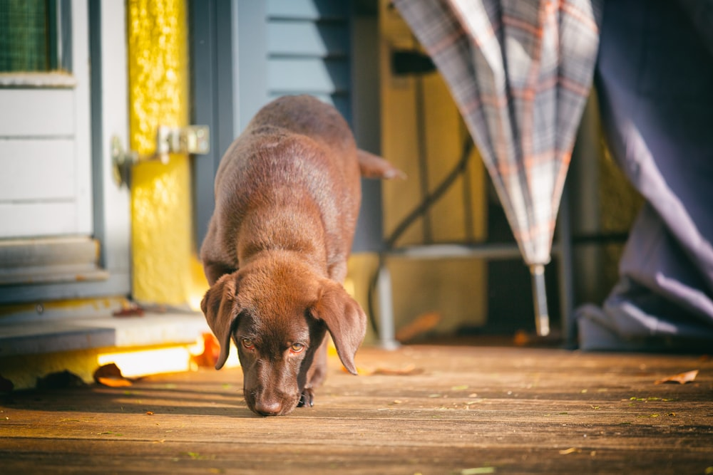 brown short coated dog on brown wooden floor