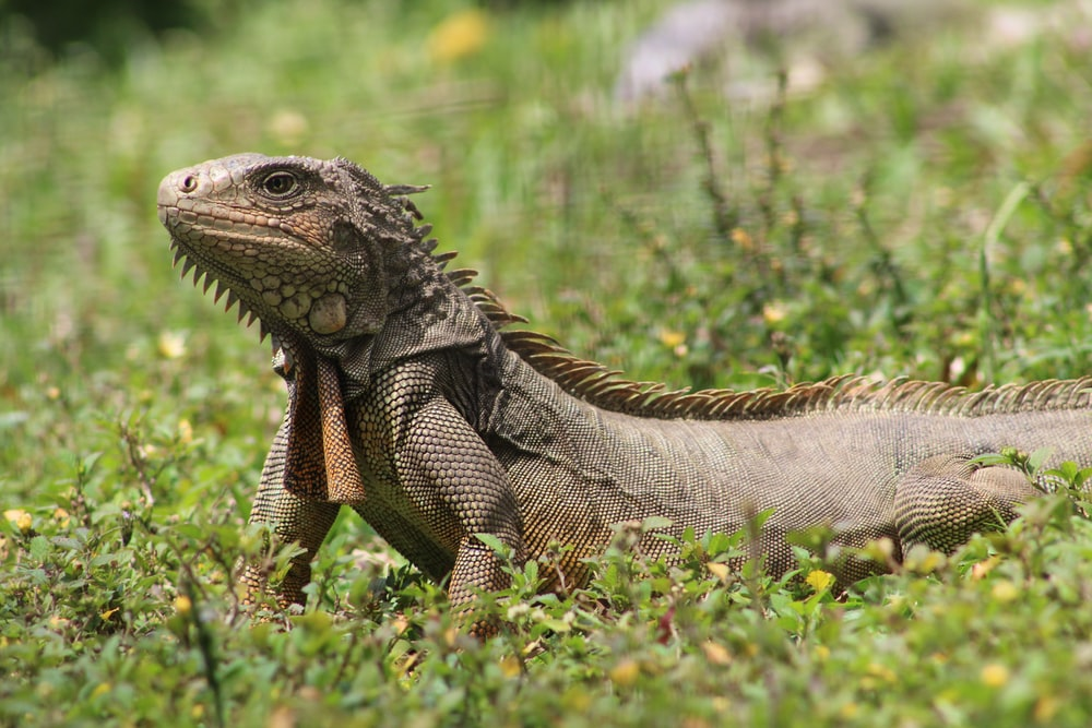 brown and gray iguana on green grass during daytime