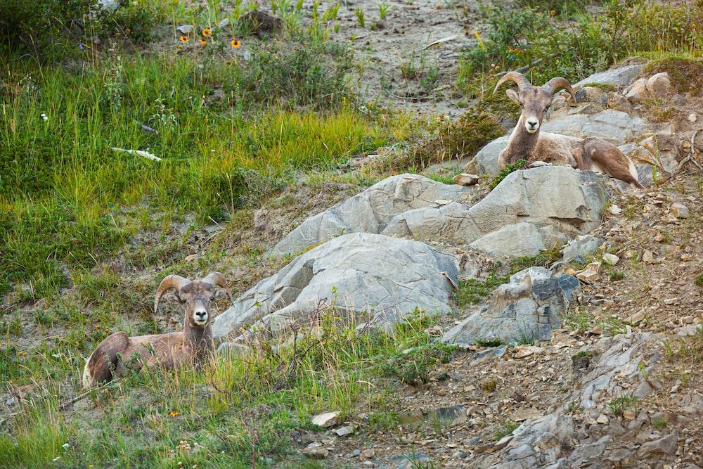 brown ram on green grass during daytime