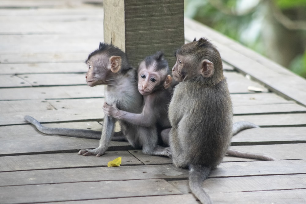 two monkeys sitting on wooden fence