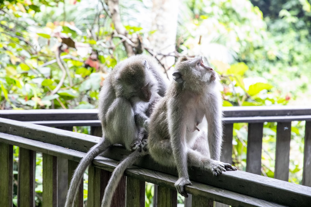 gray monkey on brown wooden fence during daytime