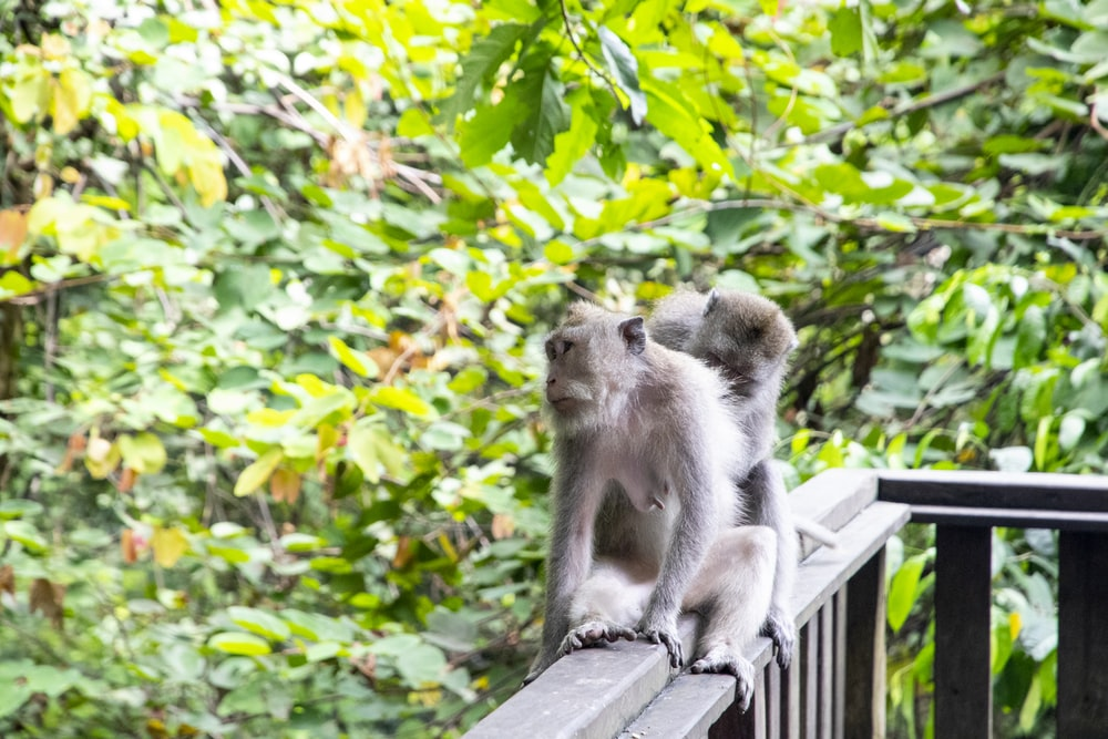 gray monkey sitting on brown wooden fence during daytime