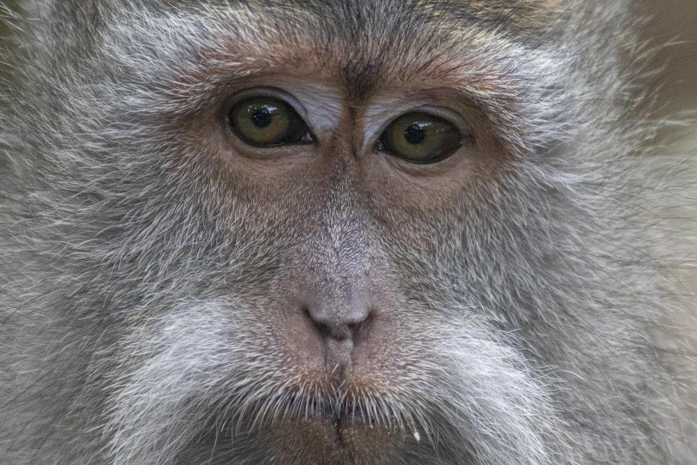 close up photo of gray monkey