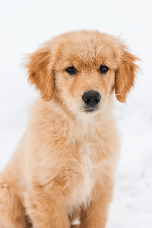golden retriever puppy on snow covered ground