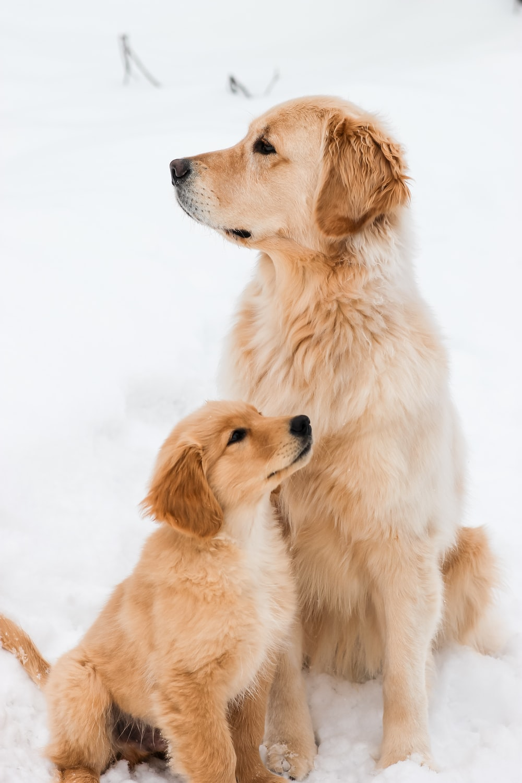 golden retriever puppy on snow covered ground during daytime