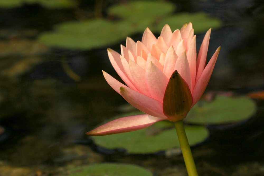 pink lotus flower in bloom during daytime
