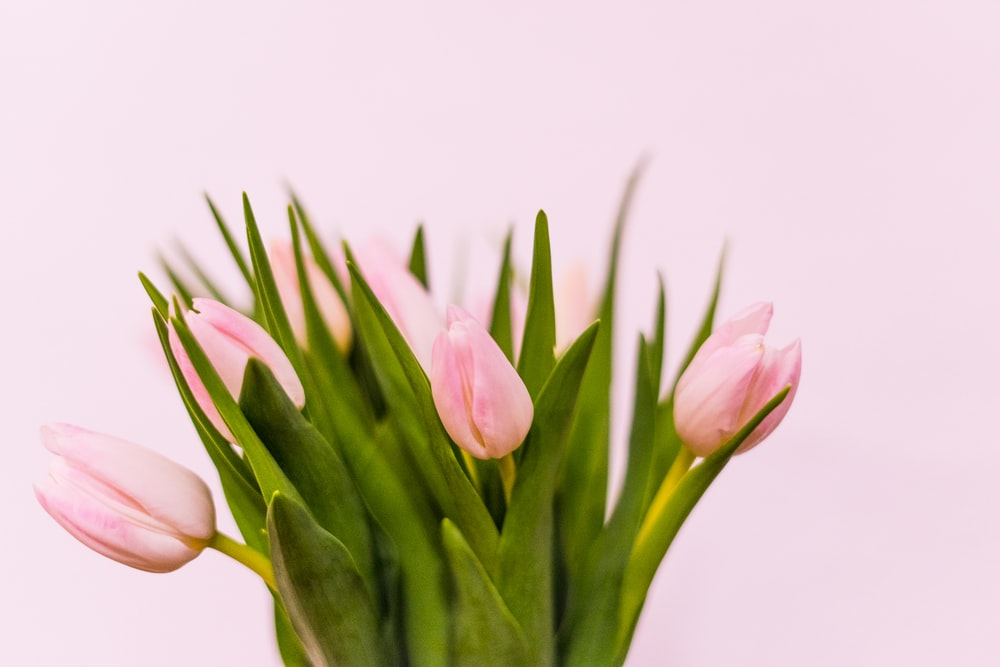 pink tulips in close up photography