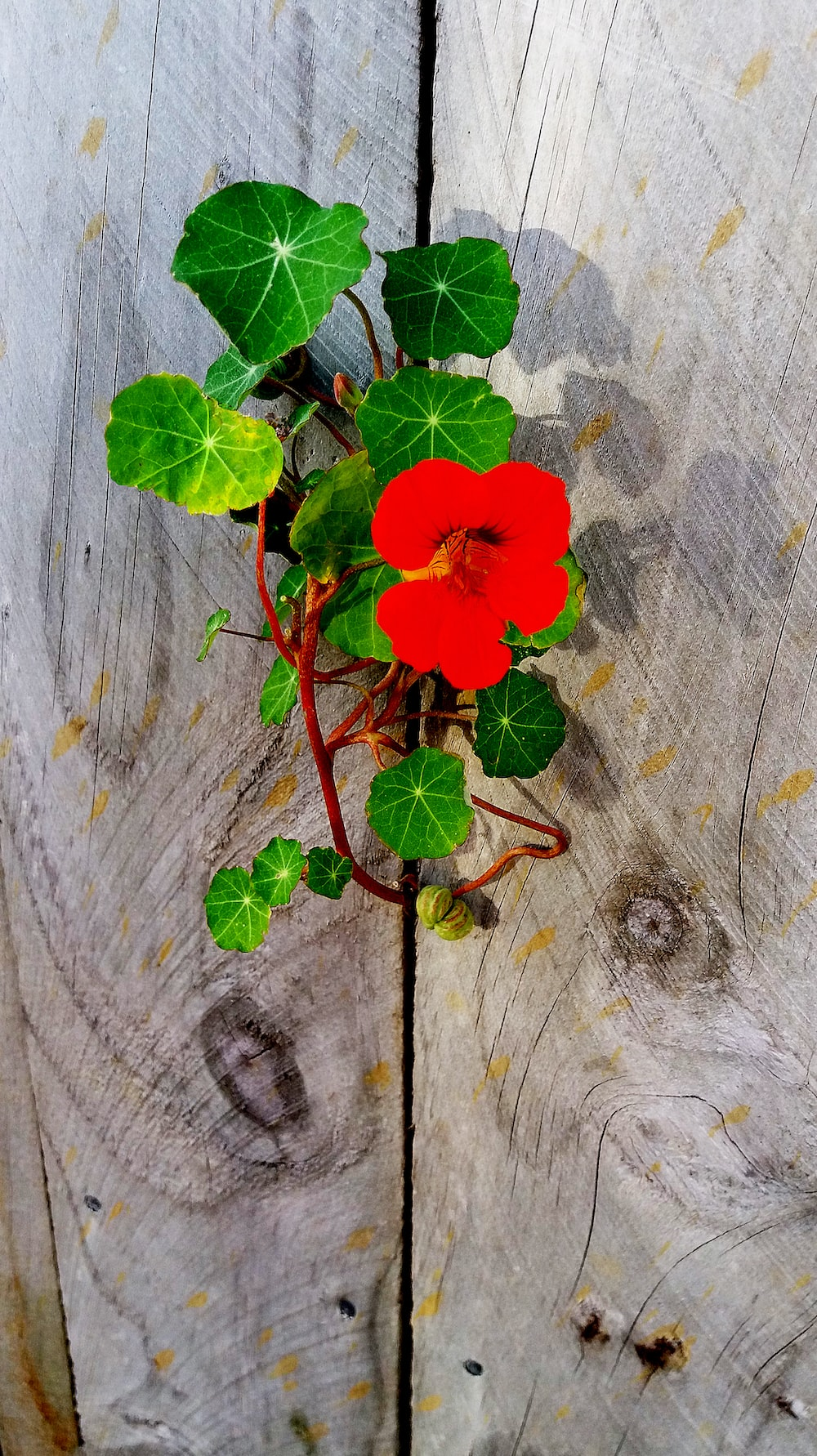 red flower on gray wooden surface