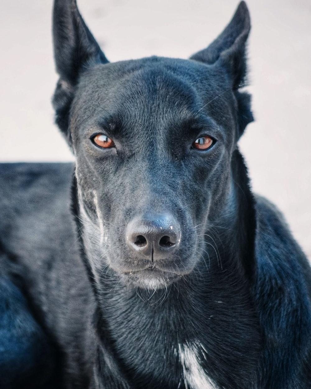 black short coated dog with blue eyes