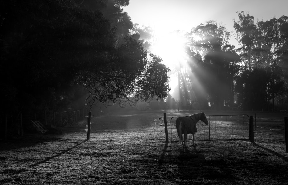 grayscale photo of horse on field