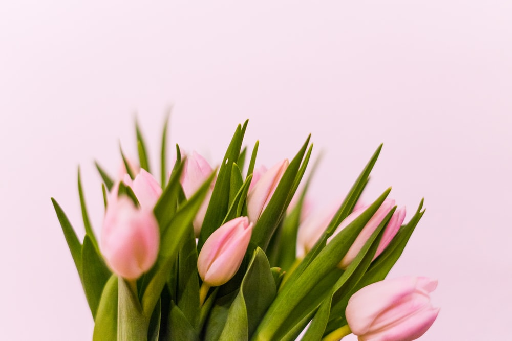 pink tulips in white background