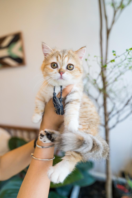 orange tabby kitten on persons hand
