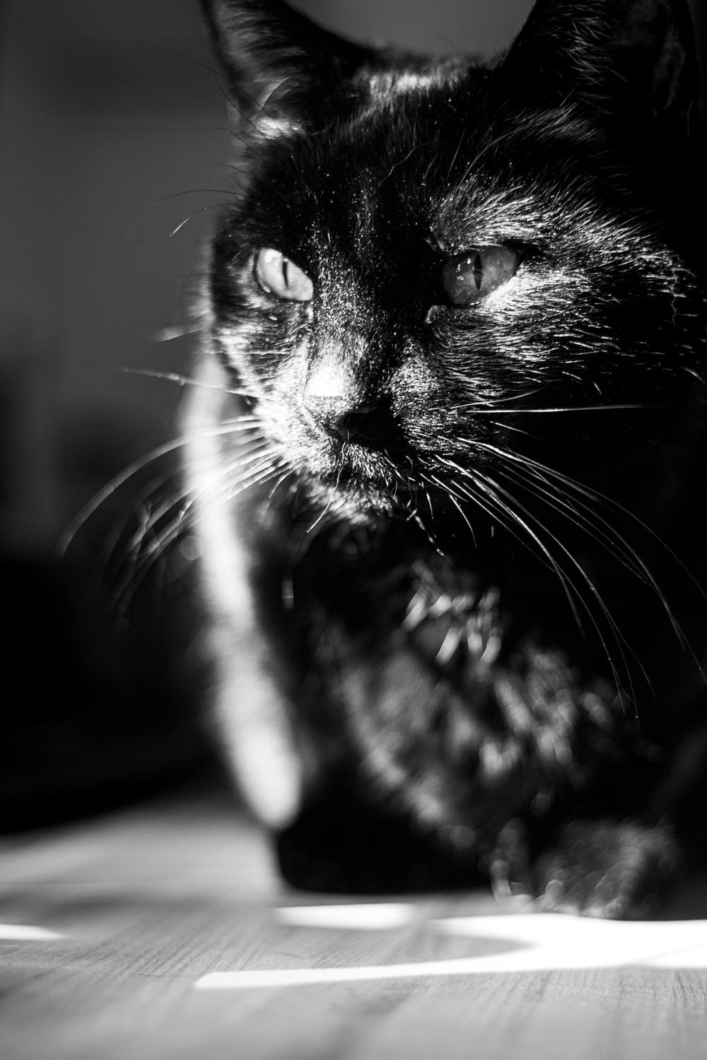 black and white cat in grayscale photography