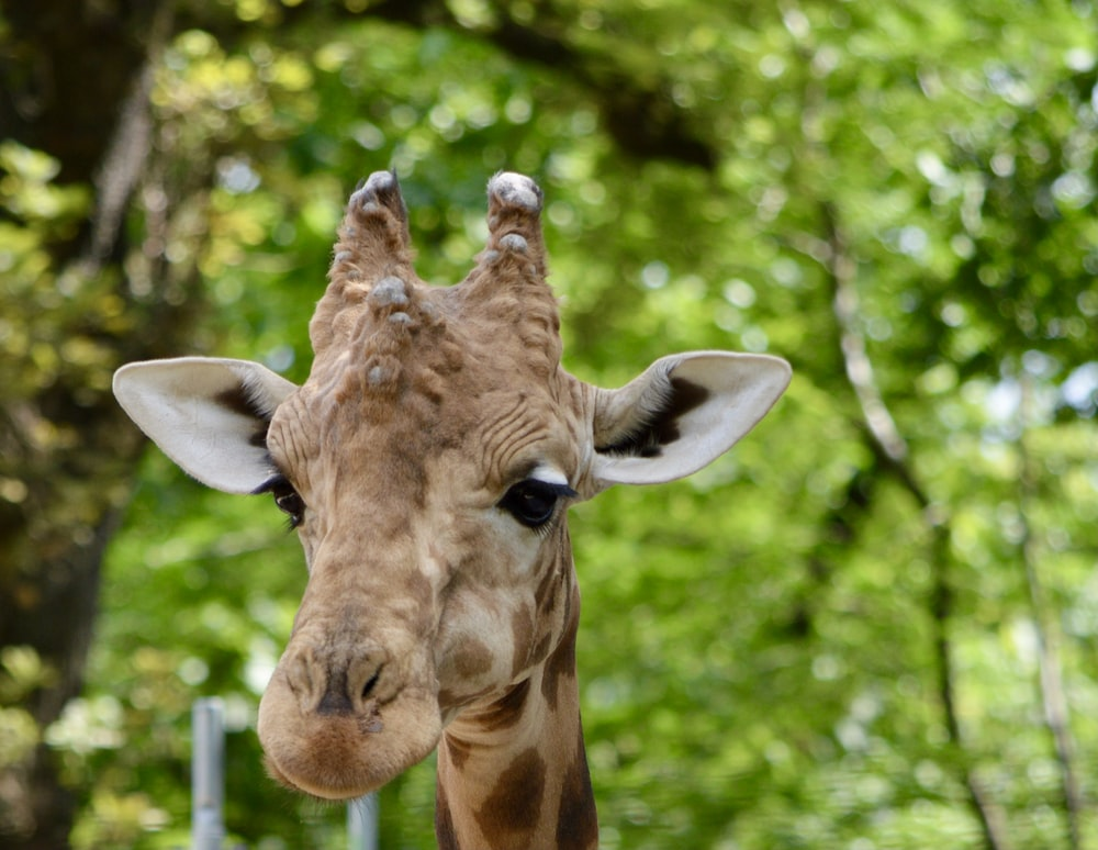 brown giraffe in tilt shift lens