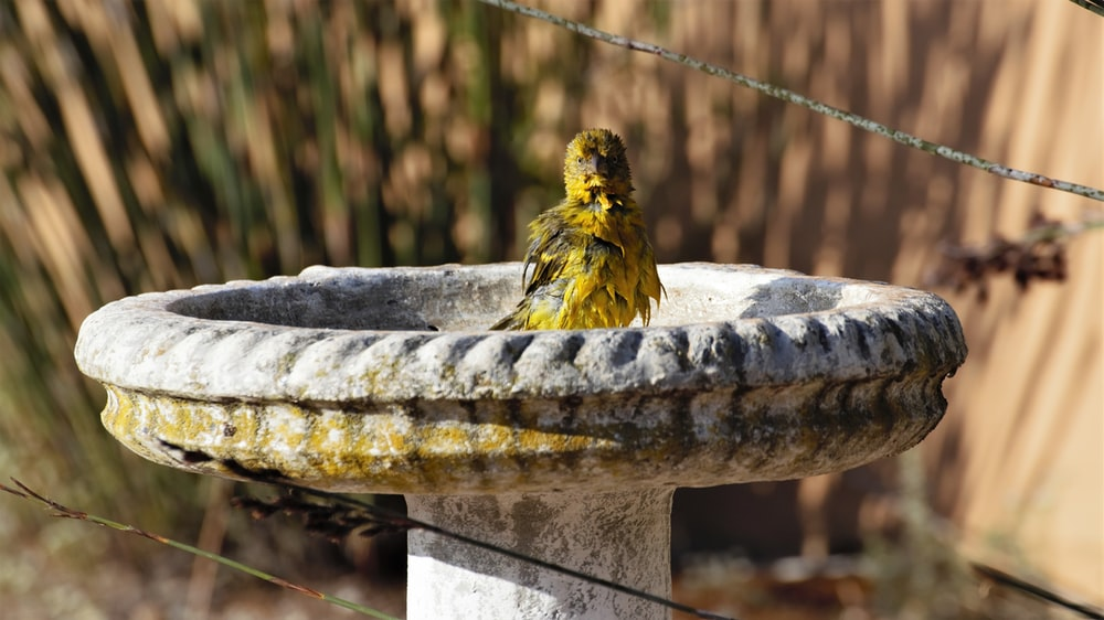 yellow and black bird on gray concrete round fountain during daytime