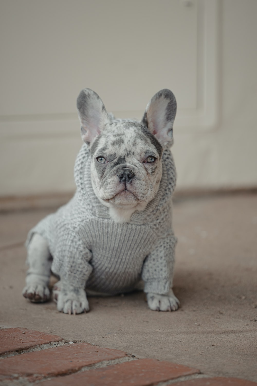 gray and white french bulldog puppy on brown floor