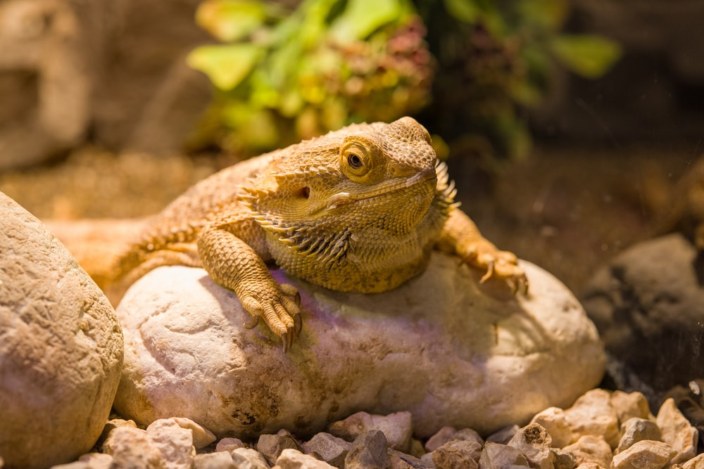 brown and black bearded dragon on brown rock