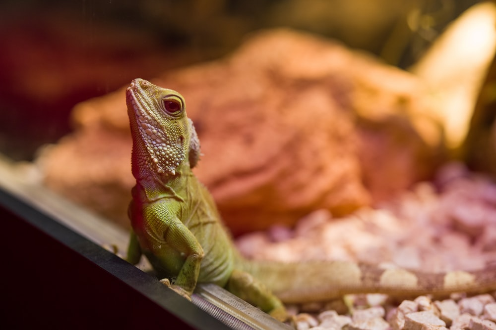 green and brown lizard on brown wooden table