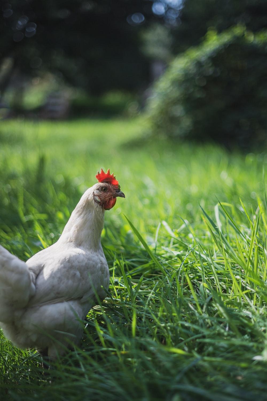 white chicken on green grass during daytime