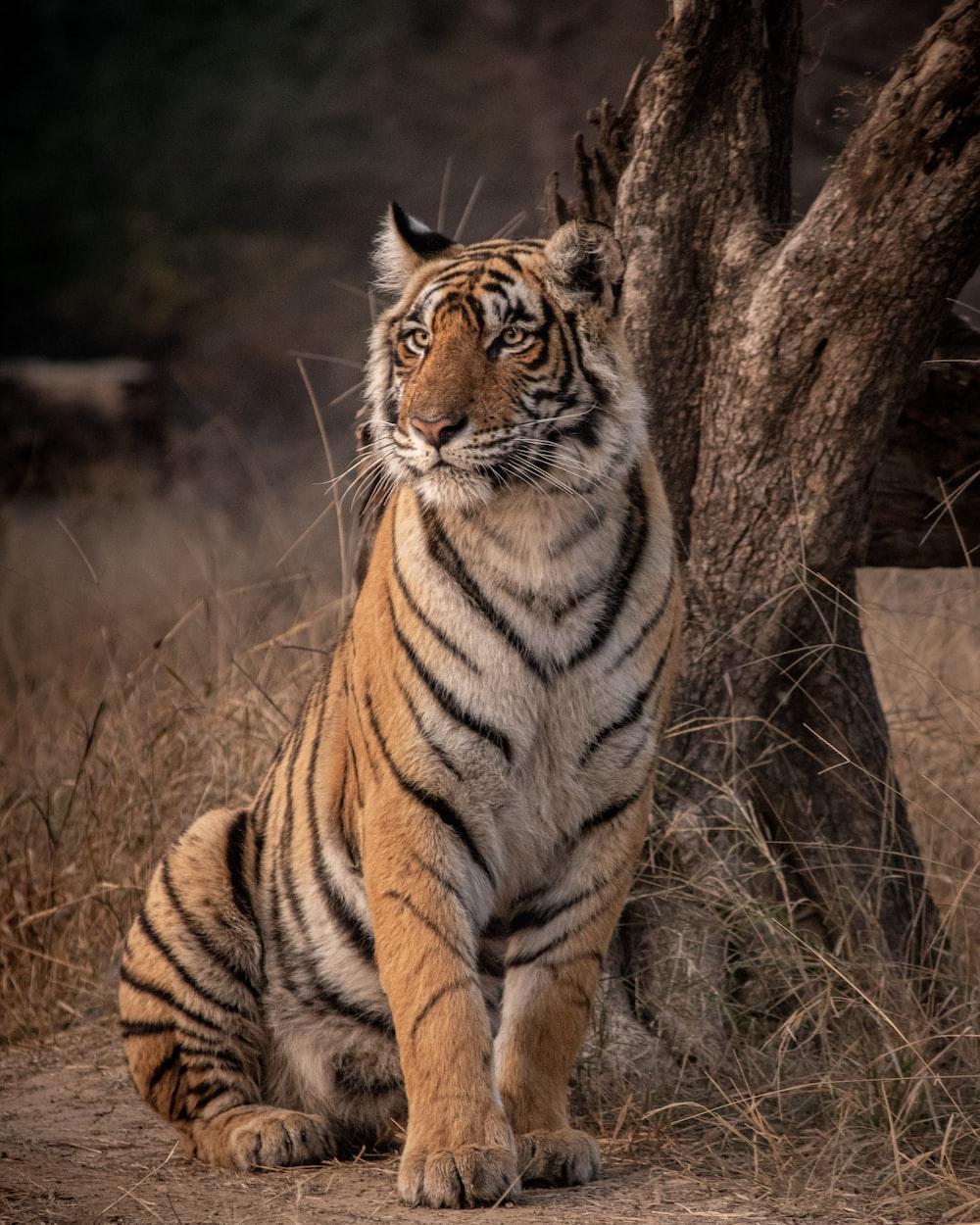 tiger on brown grass during daytime
