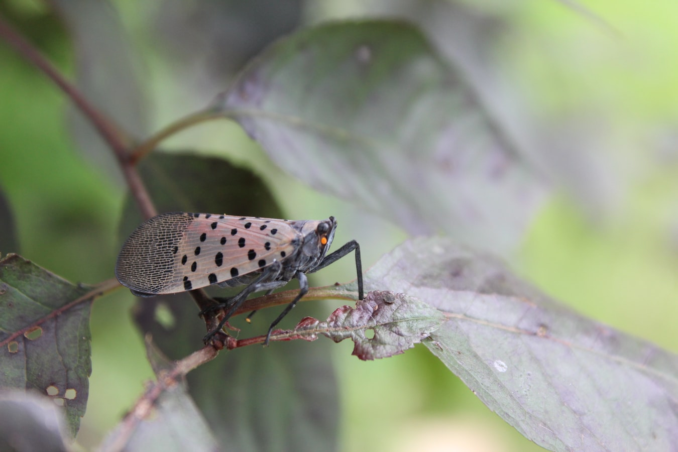 Spotted lanternfly on a green leaf