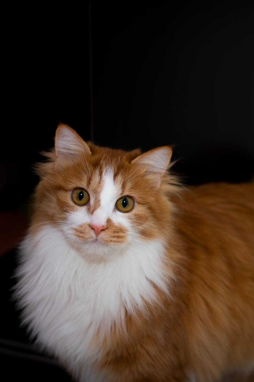 orange and white long fur cat