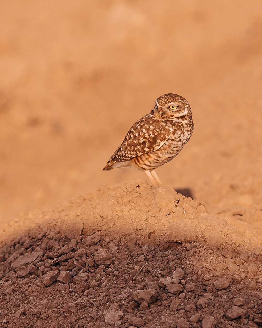 brown and white owl on brown rock during daytime