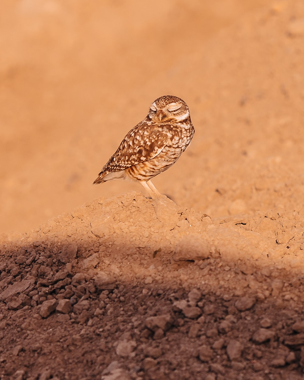 brown and white owl on brown sand during daytime