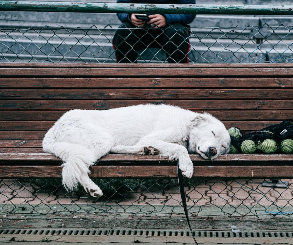 white short coated dog lying on brown wooden floor