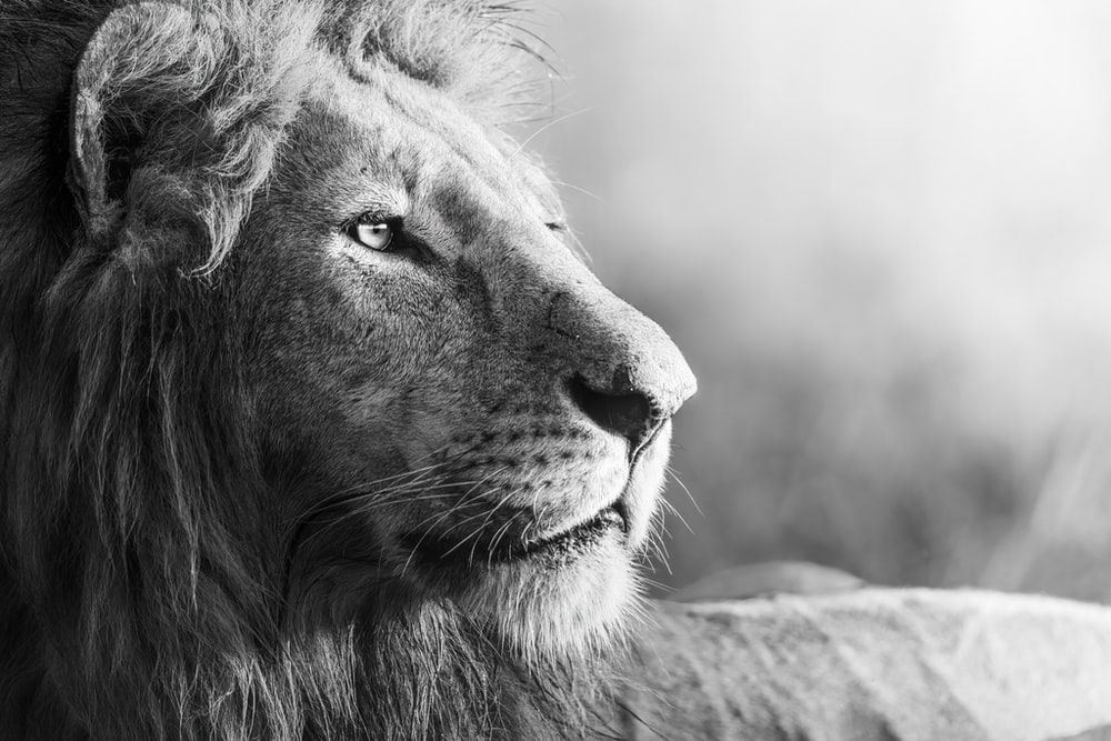 grayscale photo of lion lying on grass field