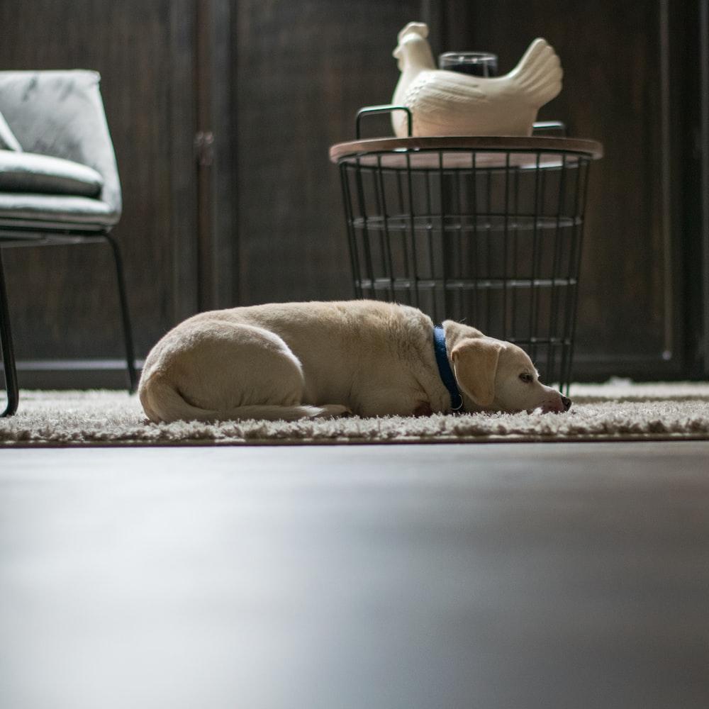 yellow labrador retriever lying on floor beside gray metal chair