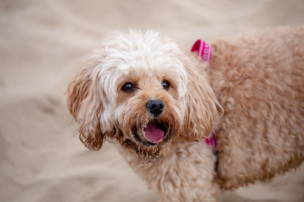 brown curly coated small dog
