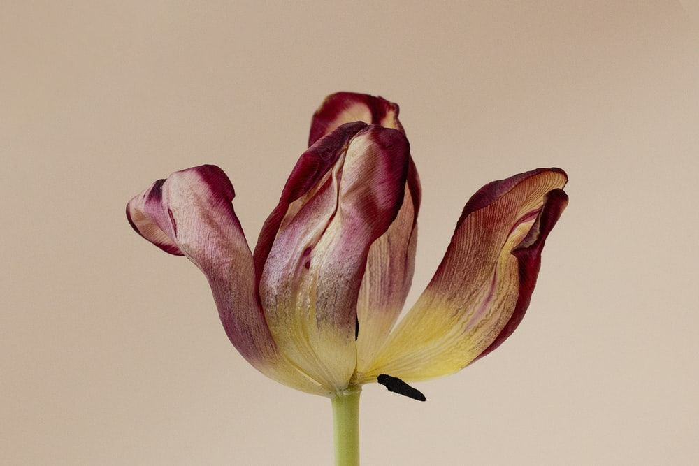 pink and yellow tulips in white background